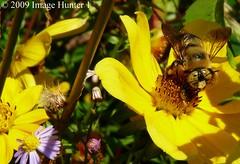 Old Yellow Eyes (Image Hunter 1) Tags: flower nature louisiana bee bayou swamp bayoucourtableau panasonicfz35