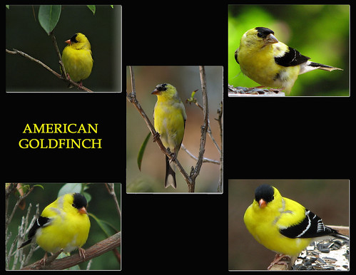 GOLDFINCH COLLAGE