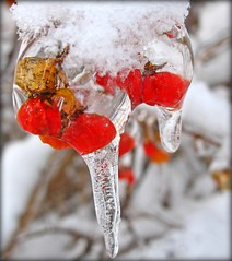 ice cold berries (delitefulimage) Tags: winter red snow hot cold art ice cool interesting berries bokeh getty coolbeans veryinteresting
