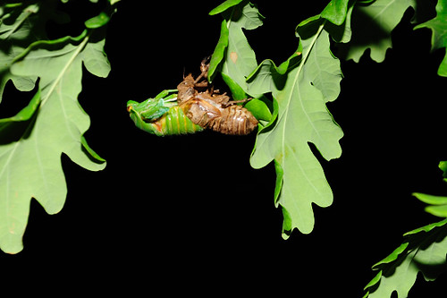CicadaEmerging