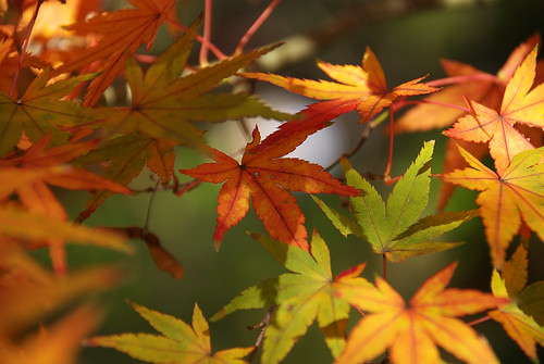 紅葉 / maple leaves