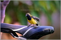 Going for a ride (Ericbronson's Photography) Tags: bird nature interesting singapore wildlife sunbird ericbronson vosplusbellesphotos