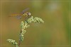 FRANKIE DETTORI (Siprico - Silvano) Tags: canon dragonfly natura macros libellula potofgold macrofotografia cernuscosulnaviglio macrofografia buzznbugz siprico fotografianaturalistica soloreflex 100commentgroup naturalezaenestadopuro pricoco wwwsipricoit httpwwwsipricoit silvanopricoco wwwpricocoorg