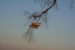 SHOE TREE (Ebiker) Tags: ontario canada tree souls shoe weird funny joke indian religion culture niagara cult soles smelly shoetree odour happyfeet storys pointabino ftheseshoescouldtalk cystalbeach