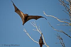 Flying Fox (Greggggie) Tags: flying fox queensland outback surat pteropusscapulatus littleredflyingfox wwwnatureanticscom