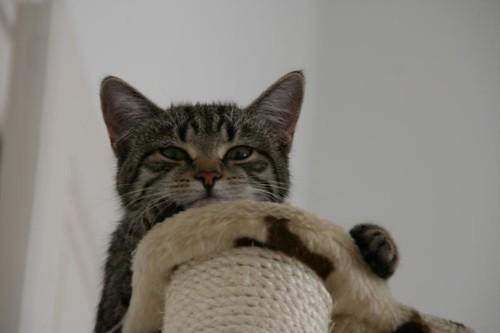 Katze trägt träge Skepsis lazy but sceptical cat