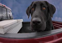 A Dog Named Diesel (scottnj) Tags: dog pet truck puppy newjersey diesel nj explore blacklab vikingvillage explored scottnj