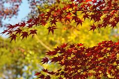 南禅寺 Maple