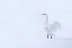 Grace (Kristoffer Fure Johansen) Tags: lake bird ice birds canon frozen vinter 300mm swans 70300mm fugl 2009 ef fugler sn olden sogn naturesfinest 50d svane 50d2009birdbirdscanonfuglfugleroldensnsvanevinter