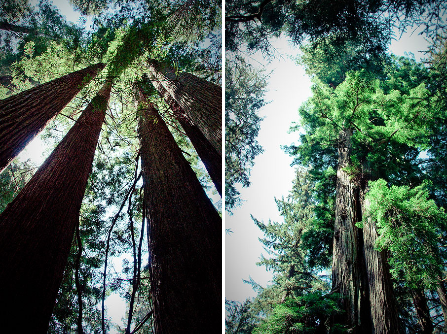 redwoods01