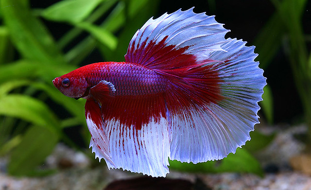 Betta splendens - Terramarina