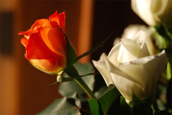 Rose-POD