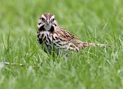 Sparrow, Song - Toronto Islands, Ontario (david.beadle) Tags: bird birds sparrow torontoislands songsparrow melospizamelodia melospiza torontobirds emberizid ontariobirds