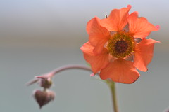 GEUM 'Hilltop Beacon'