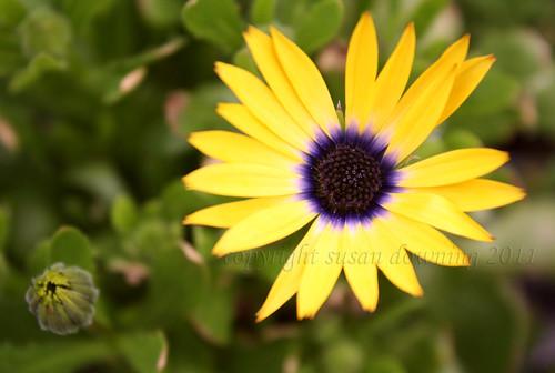 Yellow Beauty {273/365}