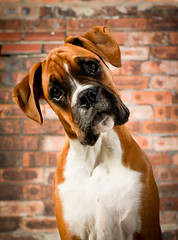 """So you want me to pose like this?"" - 8/52 (Danny Beattie) Tags: cute puppy george sony boxer headtilt boxerpuppy a550 highqualitydogs"