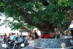 位於彰化市茄苳路的老茄苳,每年大甲媽祖南下遶境時都會在此短暫停留,接受信眾膜拜,是最親民的老茄苳。圖片來自:林務局。