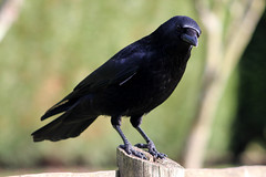 Bob The Crow (Marc Sayce) Tags: crow carrion corvid corvus corone rook raven jackdaw february winter 2017 lodge forest alice holt hampshire wrecclesham farnham surrey south downs national park