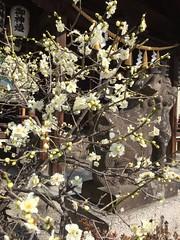 白梅と狛犬 (eyawlk60) Tags: 狛犬 白梅 梅 神社 初春 日本 ume jinja shrine komainu