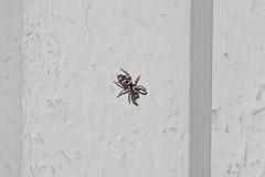 Yrvaken (tusenord) Tags: fotosondag spindlar sebraspindel salticusscenicus fs170226 liten spider jumpingspider hoppspindel
