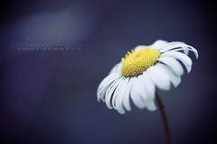 discovery (CortneyR-) Tags: white flower macro yellow purple daisy balboapark storypeople