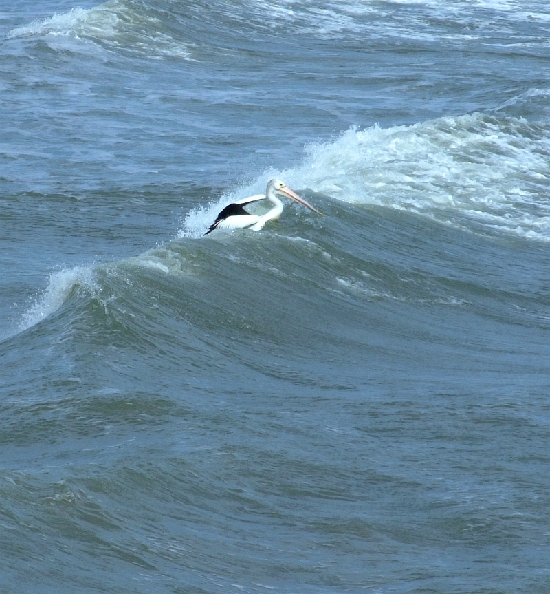pelican in surf 02