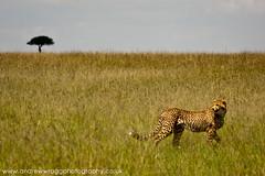 Cheetah looking back (Andrew Wragg) Tags: fauna photography kenya places andrew masaimara wragg cheatah andrewwragg redragmediacouk andrewwraggphotography andrewwraggphotographycouk
