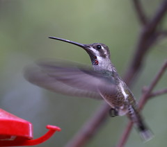 Plain-capped Starthroat, Patagonia: August 12, 2009. Courtesy Chris West.
