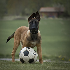Soccer dog (Kim Ledin) Tags: dog animals puppy ella bitch malinois nikond40