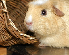 DSC02896 Wicker & Cavy (pickup2sticks 4.1 million views) Tags: pictures light pets macro texture animals contrast digital cavy photo focus flickr mood different foto dof image photos pov unique quality soccer picture shapes pic images photographic line sharp number textures photograph difference form worldcup photographed shape tone photoes tonal outstanding textual focussed descriptive photographes englandteam gordonkerr derbycityphotographicclubmember derbycityphotographicclub