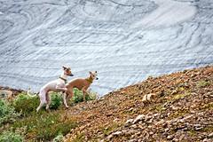 Glacier nutrias