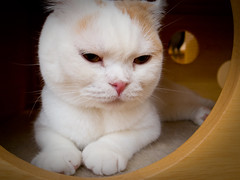 sulking (at a cat cafe, Nara) (Marser) Tags: japan cat raw nara lightroom grd catcafe  grd3  grdigital3 kawaiigetty2010
