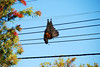 DSC_5465 (Carlo A Santos) Tags: animal bat flyingfox