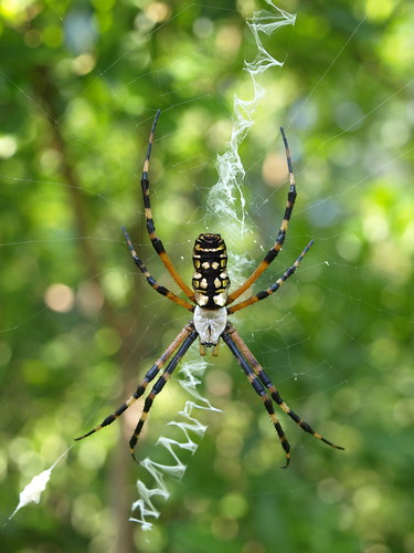 Sawgrass Lake Park: Black And Yellow Argiope