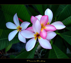 Flowers - A Plumeria Seedling (mad plumerian) Tags: flowers canon hawaii florida plumeria exotic hawaiian frangipani seedlings rare tropicals tropicalflowers a620 hybrids rareplant landscapephotography rareplants exoticflowers flowersinbloom rareflowers rareplantsflowers hybridflowers