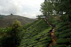 To the viewing platform - Ummph! Tea Shop (QooL / بنت شمس الدين) Tags: green tea platform hills malaysia plantation cameronhighlands viewing shrubs hilly hedges sgpalas landsscpe