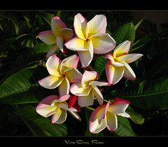 Roses - The Plumeria Vera Cruz Rose (mad plumerian) Tags: flowers roses rose canon hawaii florida plumeria hawaiian frangipani veracruz rare tropicals tropicalflowers a620 hybrids rareplant landscapephotography rareplants exoticflowers flowersinbloom rareflowers rareplantsflowers hybridflowers springflowerswallpaper