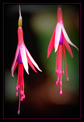 Talking to Flowers (Dave Hilditch Photography) Tags: fuchsias flowers flora gardens suffolk southwold thelordnelson pubs cider flickrvault tistheseason legacy diamondclassphotographer soe blueribbonwinner bej artofimages beyondbokeh worldbest naturesfinest dragondaggerphoto golddragon beautiful flickrdiamond coth supershot theperfectphotographer goldstaraward vosplusbellesphotos