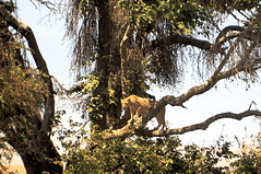 Is that a lion on a tree?
