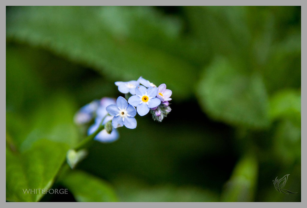 Little blue flower in Sherbrooke Forest