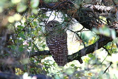 Almost Didn't See Him (Harry'sPhotos) Tags: bird nature canon wildlife owl refuge barred plumisland barredowl parkerriver canonef70200mmf4lisusm rebelxsi