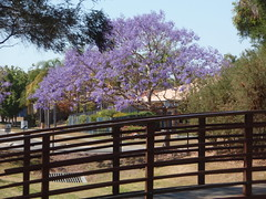 # 282C - 9th October - Bloomin' gorgeous (Ruthyf - the evil one, kinda :)) Tags: jacaranda jacarandatree project365