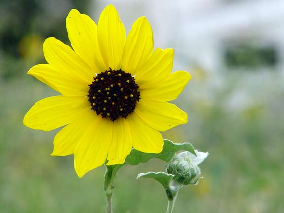 The squirrel cam blog archive wild flowers of texas sun flower mightylinksfo