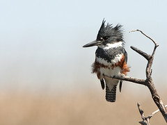 Belted Kingfisher (Random Images from The Heartland) Tags: chris bird birds aves bailey wetlands beltedkingfisher chrisbailey prairiepothole specanimal vosplusbellesphotos southdakotabeltedkingfisher chrisbaileyimages