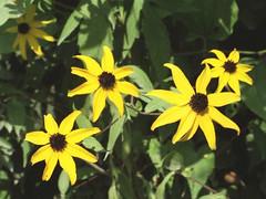 Black-eyed Susans (Jim Grey) Tags: flowers roadside blackeyedsusan