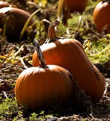 Pumpkin Love (FarhadFarhad .(Farhad Jahanbani)) Tags: love halloween nature canon pumpkin happy 5d canon5d patch