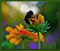 Bee Dazzling Bokeh (elisabeth adams) Tags: flowers red orange flower green nature floral yellow closeup stem dof purple bokeh petal bee naturephotography flowerart floralart lifeasart flowerphotography floralphotography elisabethadams pixel8gallery wwwpixel8gallerycom elisabethadamslloyd