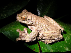 Ecnomiohyla miliaria (CostaRicaFrog) Tags: trees nature rain forest rainforest costarica wildlife reserve center science study research jungle breeding rivers frogs species caribbean streams endangered amphibians eco limon herpetology herpetologist guayacan siquirres briankubicki talamancia