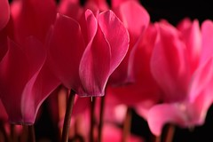 pink cyclamen:  329/365 (helen sotiriadis) Tags: pink black flower macro closeup canon published dof bokeh depthoffield 365 cyclamen canonef100mmf28macrousm canoneos40d toomanytribbles