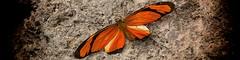 (iPUK.nl) Tags: butterfly insect butterflies insects vlinders vlinder insecten viewfinder butterflygarden d90 vlindertuin berkenhof nikond90 kwadendamme vlindertuinberkenhof